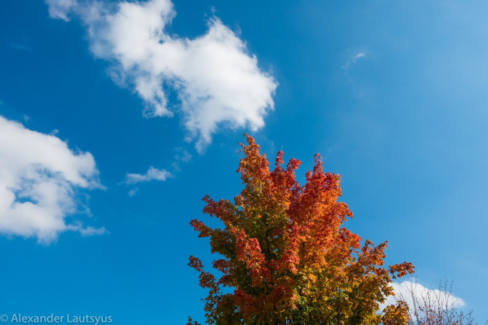 Maple and Sky
